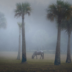Horse in Fog on Cumberland Island