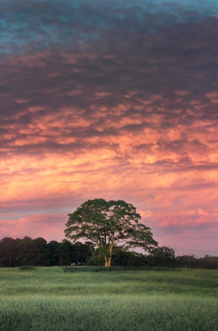Tree Under Pink Sunset
